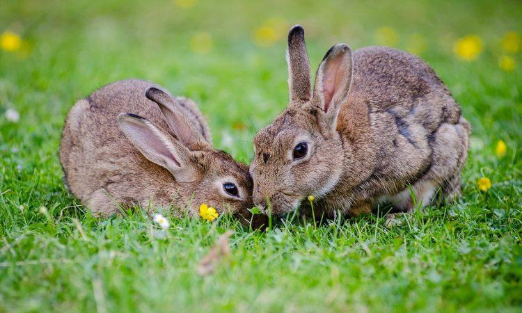 De meest interessante konijnen weetjes